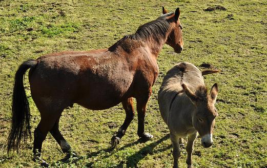 Keledai Najis, Lalu Apa Hukum Memakan Daging Keledai dan Kuda?