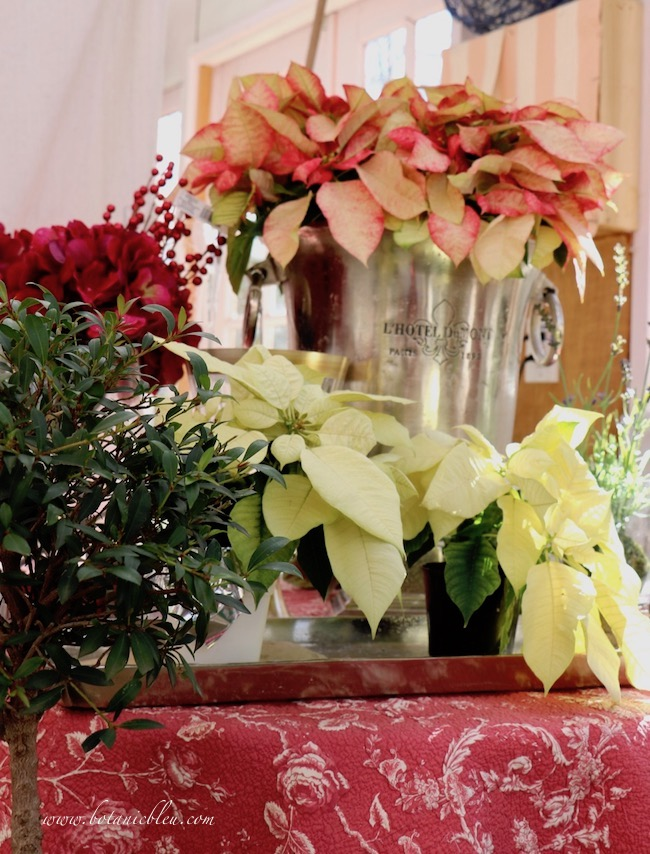 Poinsettias say Christmas in the French Country Christmas greenhouse
