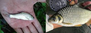 Perbedaan Ikan Wader dan Bader