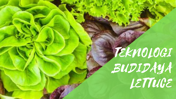 Teknologi Budidaya Lettuce