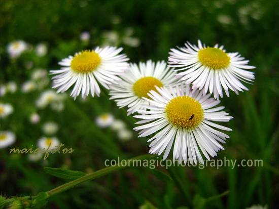 Daisy Fleabane-Erigeron strigosus close-up