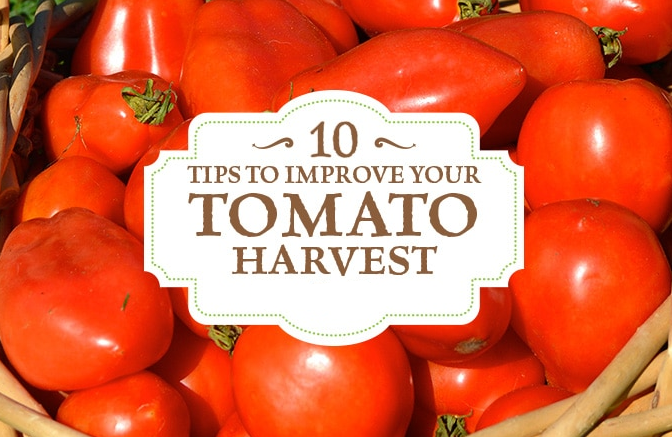 10 Tips For Growing Tomatoes Perfectly