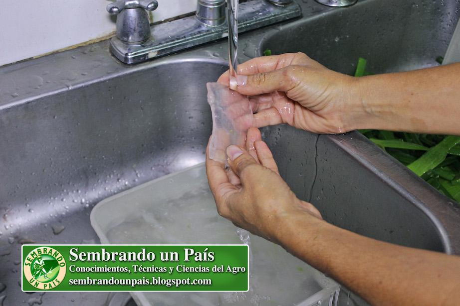 Lavando pulpa de aloe vera para jugo