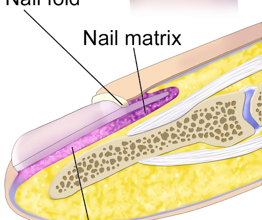 The structure and composition of human nails