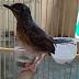 7 鳥の鳴き声鳥のさえずりに最高のトップ