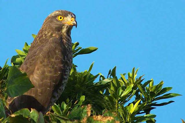 bird, Grey-faced Buzzard, migratory, December, Okinawa