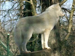 Loup arctique - Canis lupus arctos