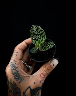 Macodes petola a la venta online en Instinto Planternal