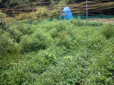 除草未着手のイチゴのエリア。イチゴの株が見えません。