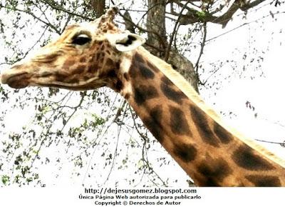 Foto a una jirafa por Jesus Gómez