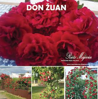 DON ŽUAN - Don Juan i MADEUS  Crvena ruža. Penjačica