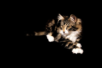 Calico Norwegian Forest Cat on black background