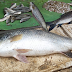 লকডাউনের মধ্যেই বাজারে হটাৎ বিশাল ভেটকি মাছ, দেখতে ক্রেতাদের ভিড় ভাতারে