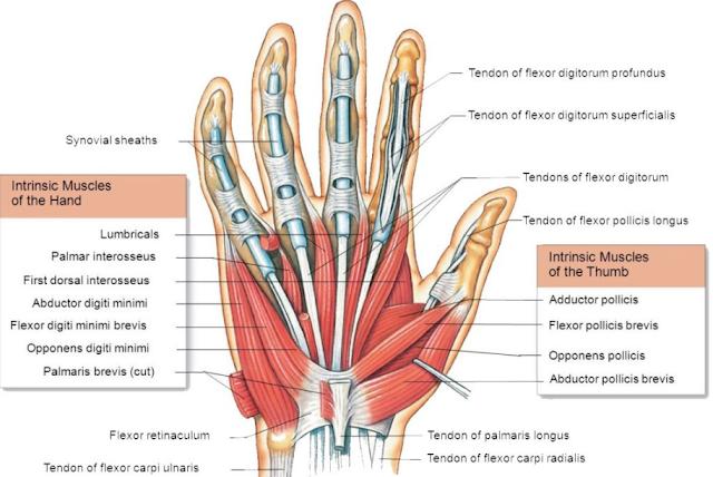 Anatomi otot fleksor digiti minimi brevis merupakan pemetaan origo, insersi, aksi atau fungsi, dan arteri dari otot ini. Otot ini akan menimbulkan atau menciptakan sebuah gerakan pada tangan manusia. Maka dari itu artikel ini akan membahas mengenai anatomi dari otot ini, untuk mengetahui lebih lanjut silahkan simak dengan yang telah tersaji di bawah ini.