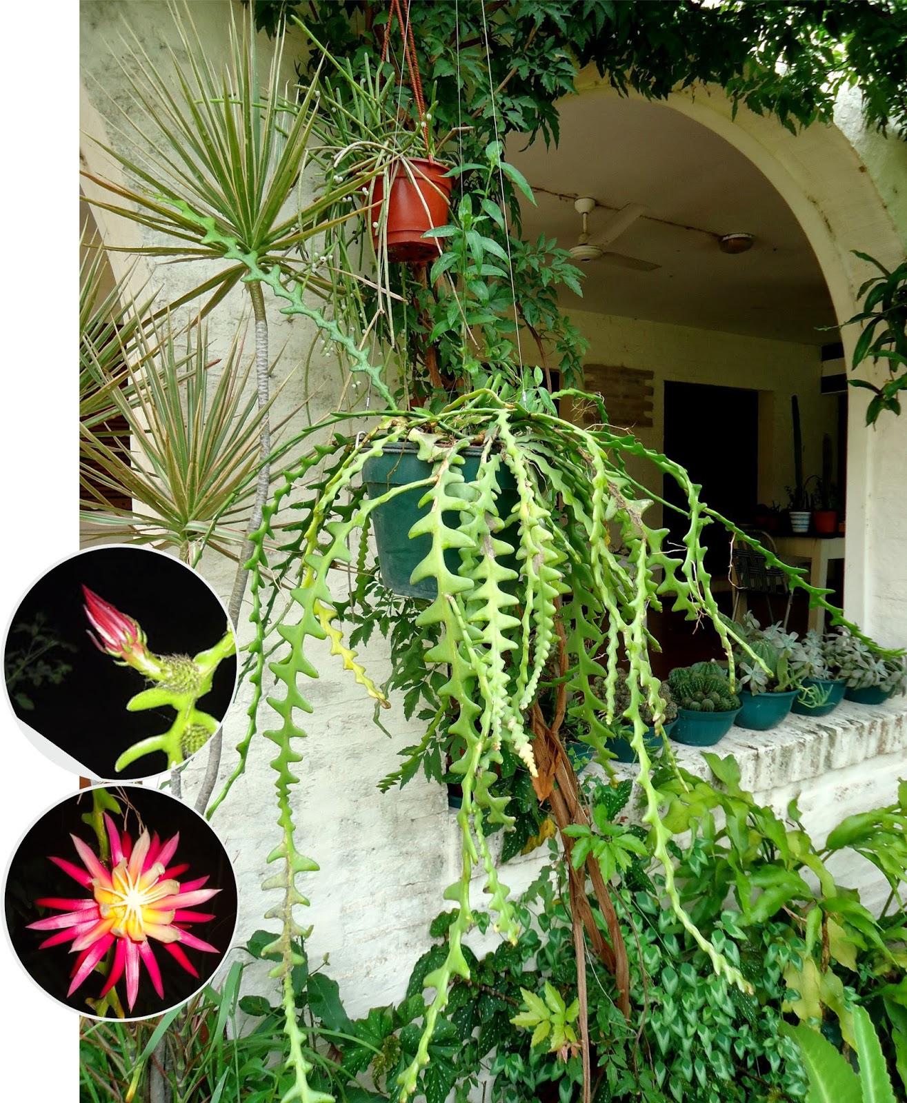 Tutuna mituna selenicereus cactus de san antonio for Nombres de cactus