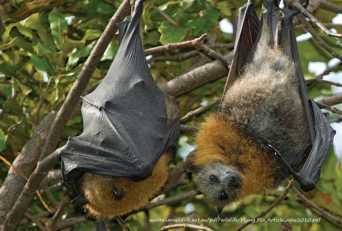 megabat flying fox fruit bat article australianwildlife net au