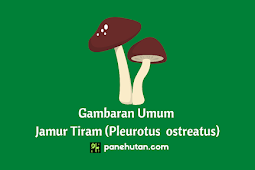 Gambaran Umum Jamur Tiram (Pleurotus ostreatus)