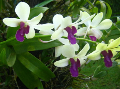 Budidaya Anggrek Dendrobium