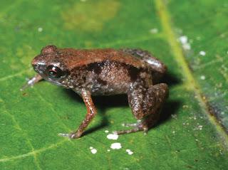 Paedophryne Amauensis Frog  7.7mm long