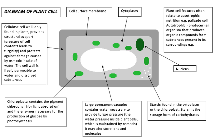 plant cell diagram gcse