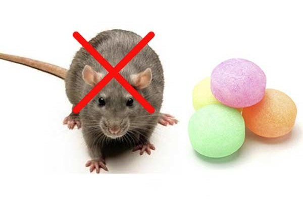 Cách đuổi chuột bằng long não
