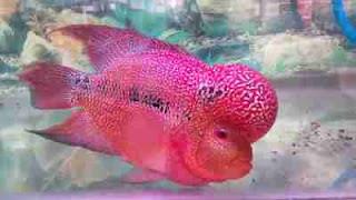 makanan ikan lohan (louhan) agar cepat jenong dan besar