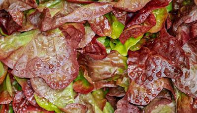 Selada daun merah
