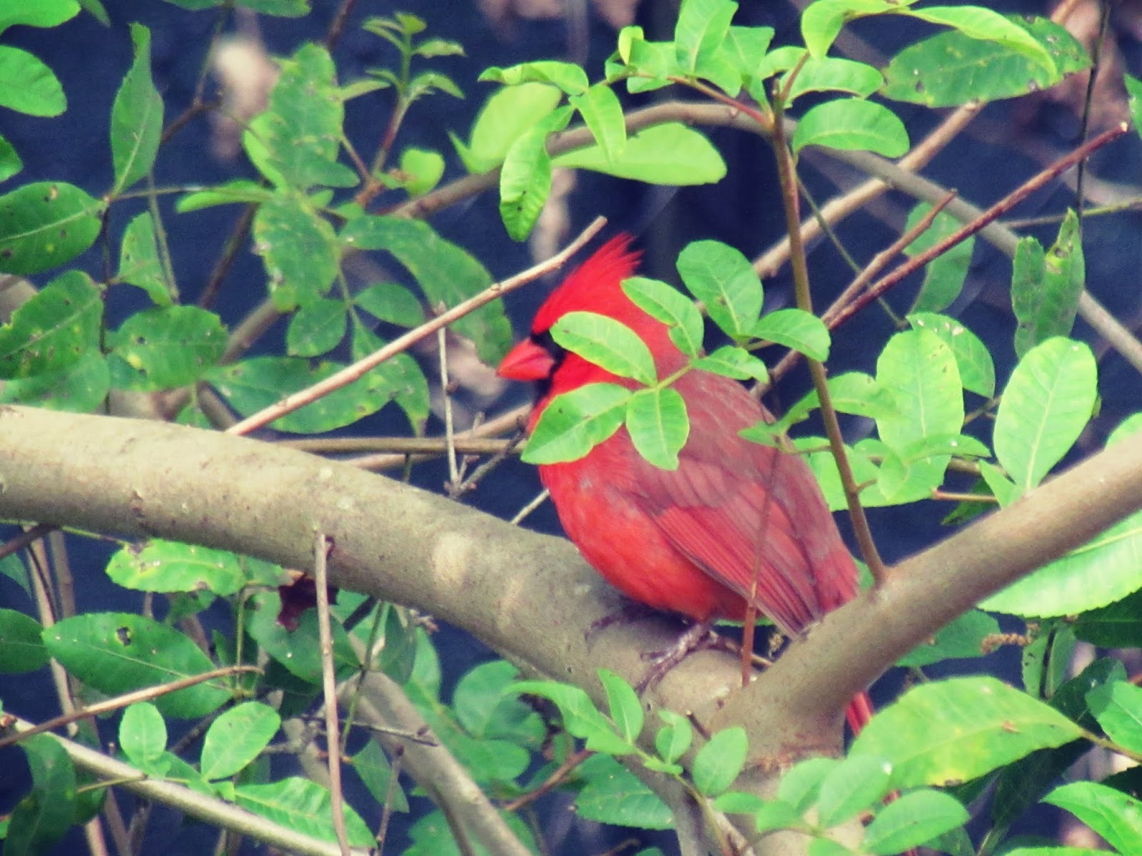 red cardinal bird found in a tropical Florida backyard in a nature retreat