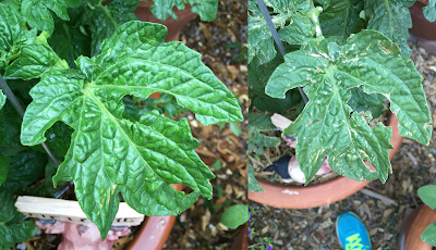 A composite photo of a tomato leaf - the photo on the left was taken immediately following the hail storm and show holes in the leaf, the photo on the right was taken of the same leaf 3 days later and shows the leaf starting to die and developing necrotic tissue