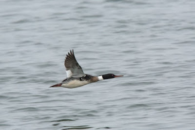 Red-breasted Merganser - 130 km/jam