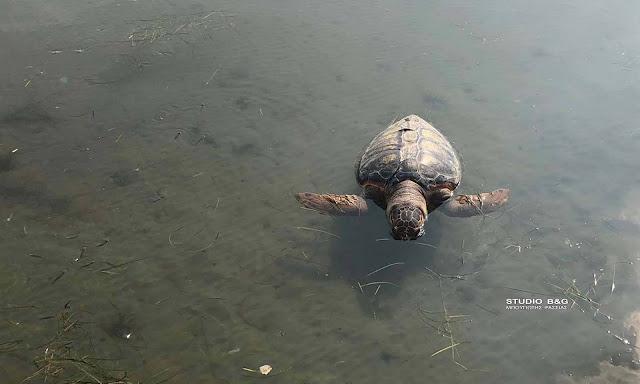 Μακάβριο θέαμα με νεκρή θαλάσσια χελώνα στη Νέα Κίο Αργολίδας