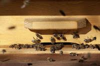 budidaya lebah madu, cara budidaya lebah, cara beternak lebah, cara beternak lebah madu, lebah, cara budidaya lebah madu, lebah madu