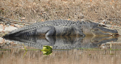An older, large alligator at the edge of a pond.