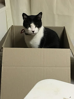 Image: Mr Bumpy, adult black and white domestic short hair cat, sitting in a box.