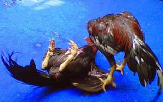 Penyebab stamina, tenaga dan otot ayam kuramg tampil prima saat diadu