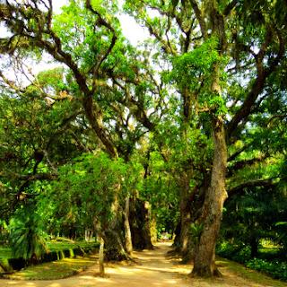 Corredor de Árvores no Jardim Botânico no Jardim Botânico do Rio de Janeiro