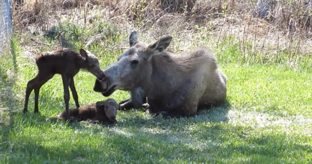White Wolf Moose Gives Birth To Twins In Backyard Video