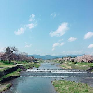 鴨川 桜 春 京都