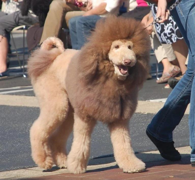 labradoodle-lion-cut