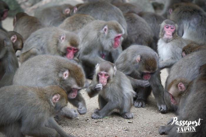 Repas des singes, parc Takasakiyama, Oita