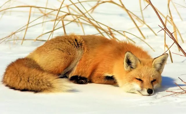 Snow Red Fox