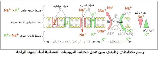 رسم تخطيطي وظيفي يبين عمل البروتينات المتدخلة في كمون الراحة