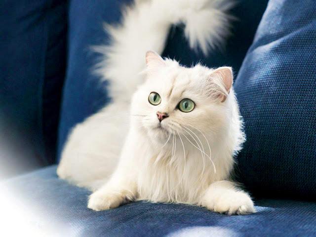 Tips Cara Merawat Kucing Ras yang Baik dan Benar