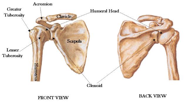 肩膀 骨頭 肩胛骨 鎖骨 肱骨