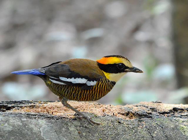 Penang Birder