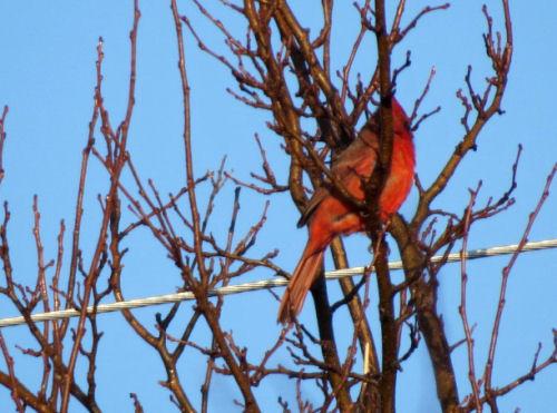 cardinal in spring
