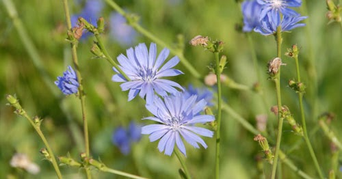 Urban Prepper Chicks Herb Of The Week Uses For Chicory