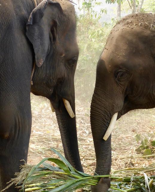 Elphants with cut tusks