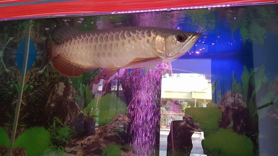 Sungut Ikan Arwana
