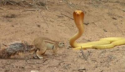 Induk tupai lawan ular kobra